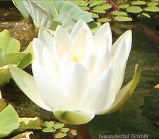 Weiße Seerose Schwimmpflanzen Pflanzen gegen Algen für den Teich Seerosenteich