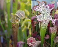 83) Pack of Sarracenia seeds 2020/2021, carnivorous plants rare