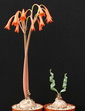 Cyrtanthus spiralis - EXTREMELY RARE bulbous ornamental plant, geophyte