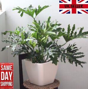 Philodendron Bipinnatifidum - 50 fresh seeds. Easy houseplant. Same Day Dispatch