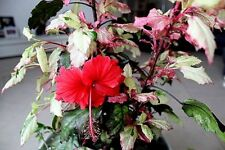 Hibiscus rosa-sinensis 'Rose Flake' x 1 small plant. Combined postage