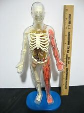 ANATOMICAL SCIENCE HUMAN BODY FIGURE CLEAR PLASTIC