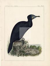 1853 Antique Print Brandt's Cormorant, Hand Coloured #A785