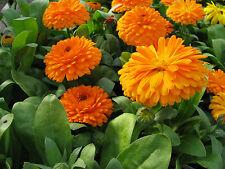 Garten Ringelblume - 1000 Samen Calendula Officinalis , Heilpflanze