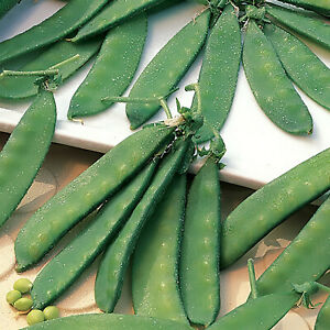 Snow Peas - Dwarf Grey Sugar (Chinese Pea Pod), Pisum sativum (65 Days)