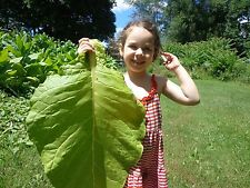 Golden Burley Tobacco Seed - Great Producer! Organic - 300+ Seeds