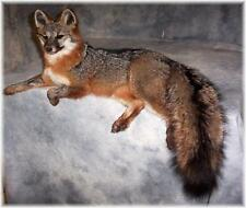 BEAUTIFUL GREY FOX TAXIDERMY MOUNT WILDLIFE ART