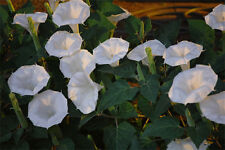 200+ NIGHT BLOOMING WHITE MOONFLOWER SEEDS PERENIAL - LARGE FRAGRANT BLOOMS
