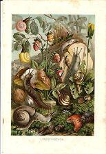 Stampa antica LUMACHE CHIOCCIOLE e ALTRI MOLLUSCHI 1891 Old Antique print
