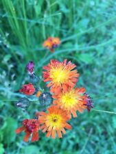 20 ORANGE HAWKWEED AKA DEVIL'S PAINTBRUSH SEEDS