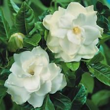 10 x FLORIDA GARDENIA augusta low hedging perfume flowers plants in 140mm pots