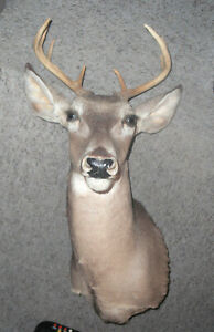 YOUNG 8 POINT BUCK DEER HEAD-Taxidermy