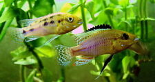 Pair of Pseudocrenilabrus nicholsi (South African Mouthbrooder)