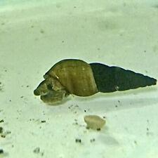 (5) Mini Rabbit Snail (Tylomelania Sp.)