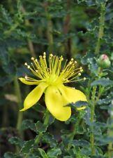 Hypericum balearicum Balearic St John's Wort Yellow flower 20 Seed Shrub UKFreeP