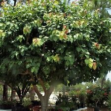 Sacred Fig Tree Seeds (Ficus religiosa) 30+Seeds