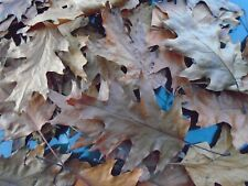 Oak leaves large. 100. 250. 500