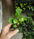 Pilea peperomioides (Money plant) 2in pot