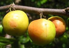 10 graines de datte chinoise (Ziziphus mauritania) INDIAN JUJUBE SEEDS SAMEN