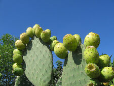 10 graines de FIGUE DE BARBARIE (Opuntia Ficus Indica)G679 INDIAN FIG SEEDS SEMI