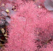 COTINUS COGGYGRIA-  ORNAMENTAL SMOKE TREE 25 SEEDS