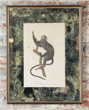 Jean Baptiste Audebert 18th century colored print of a Black Tamarin Monkey