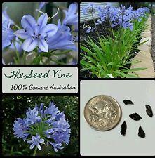 10+ BLUE AGAPANTHUS SEEDS (Agapanthus praecox) Beautiful Garden Flowers Hardy