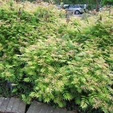 sorbaria sorbifolia sem pot 2 litres Fausse spirée à feuille de sorbier