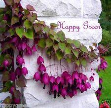 Purple Bell Vine Rhodochiton Atrosanguineus 12 Seeds - Great for hanging basket