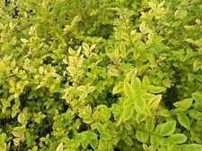 auffallende großblättrige Sorte Aureum Ligustrum ov gelbbunter Liguster