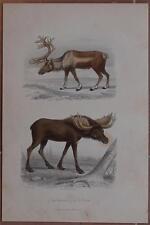 CROMOLITOGRAFIA RENNA ALCE RENNE ELAN REINDEER ELK 1880 ANIMALI TRAVIES OUDET