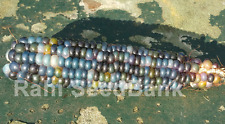 Corn Blue Green Dent - A Rare, Stunning Blue-Green Corn Variety!!!