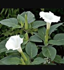 Datura Trumpet Moon Flower Bush 300 Seeds - Angel's Trumpets FRAGRANT/ PERENNIAL