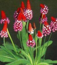 Orchideenprimel etwas anderes am Teichrand