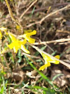 1 Forsythie Goldglöckchen Pflanze 15-35cm incl. Wurzeln