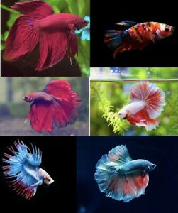 LIVE BETTA FISH RANDOM BETTA KOI HALF MOON DRAGON SCALE DUMBO EAR VEIL CROWN