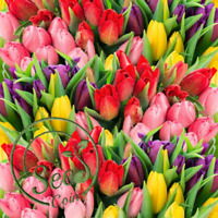 Tulip Swiss Seed Perfume Fragrant Rainbow Flower Bonsai Home Garden Mix 10 Pcs