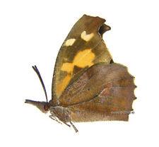 Unmounted Butterfly/Nymphalidae - Libythea celtis lepita, South Korea