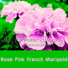 200 Rose Pink Color French Marigold Seeds