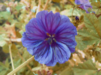 Mauretanische MALVE  lila- blau, wunderschöne essbare Blüten, Tee, Salat,Delikat
