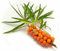 SEA BUCKTHORN SEEDS HIPPOPHAE RHAMNOIDES FRUIT POT GARDEN MEDICINAL 60 SEED PACK