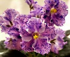 """African Violet Snow Edelweiss Gorgeous Blooms, Impressive Fantasy, 3"""" pot"""