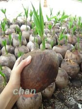 1 live seed Coconut Palm Tree sprouted Seed (Cocos Nucifera) ready to plant