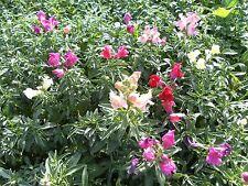 Small Pack Flower - Antirrhinum - Magic Carpet Mix - 500 Seed - Free UK Post