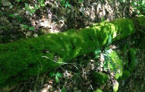 Sheet Moss (1 Gallon ZipLock)