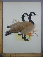 Rare Original Vintage Canada Goose Full Color Bird Illustration Art Print