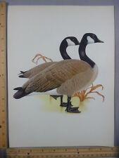 Rare Original Vintage Canada Goose Full Color Bird Illustration Art Print