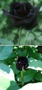 Schwarze Rosen schnellwüchsige Kletterpflanzen Kletterrosen winterharte Blumen