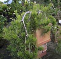Hängestrauchkiefer - Pinus densiflora Pendula 60-80cm