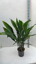 Schusterpalme Aspidistra ca. 110 cm pflegeleicht
